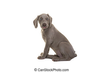 Cute sitting weimaraner puppy seen from the side looking over its shoulder isolated on a white background
