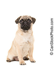 Cute sitting young pug dog looking at the camera isolated on a white background