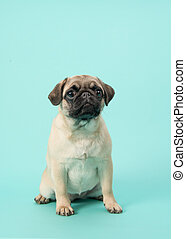 Cute sitting young pug dog looking at the camera on a blue background