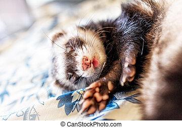 Cute sleeping ferret