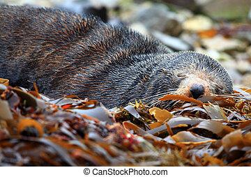 cute sleeping seal - cute sleeping wild seal at Seal colony...