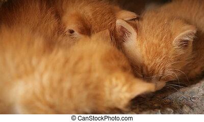 Cute Sleepy Orange Kitten. Little red kitten sleeping side...