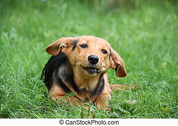 Cute small brown dog resting in the grass and smiling
