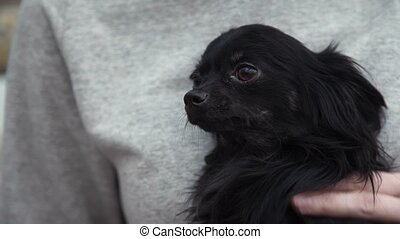 Cute small chihuahua dog in female hands. Animals care. Lap...
