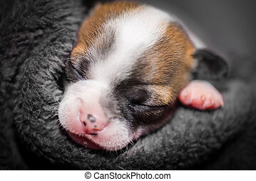 cute small chihuahua puppy sleeping