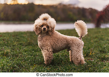 Cute small golden dog standing on green lawn in the park.