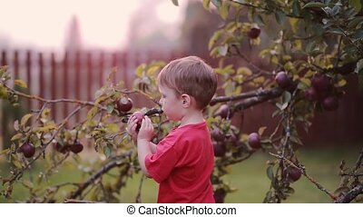 Cute smiling little boy helping with gathering and picks up apples from apple tree outdoor in the summer day