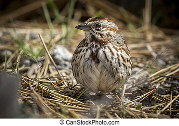 Cute song sparrow on the ground.