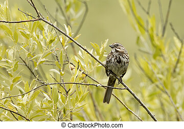 Cute song sparrow perched on twig.