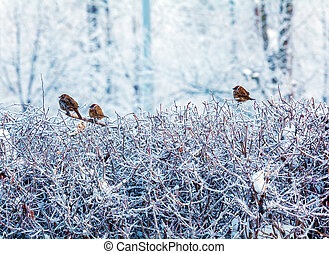Cute Sparrows sitting on Winter Bushes