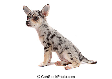 Cute spotted chihuahua - Cute little chihuahua with big ears...