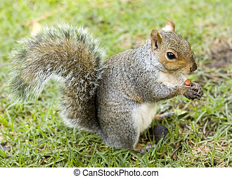 Cute squirrel eating a nut on a green lawn