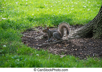 Squirrel in the grass