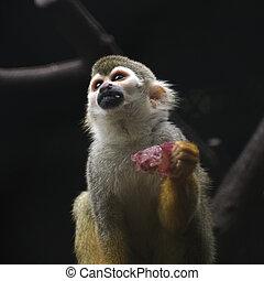 Cute Squirrel monkey eating grape