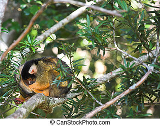 Cute squirrel monkey (Saimiri) at monkey world in South Africa