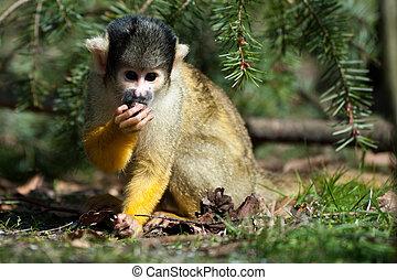 cute squirrel monkey (Saimiri) subfamily: saimiriinae