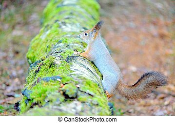 Cute squirrel with winter fur on tree trunk