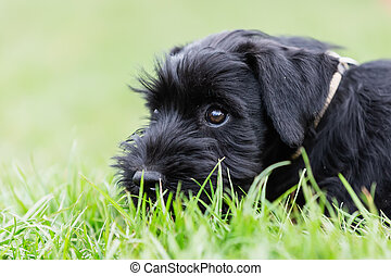 cute standard schnauzer puppy lies in the grass