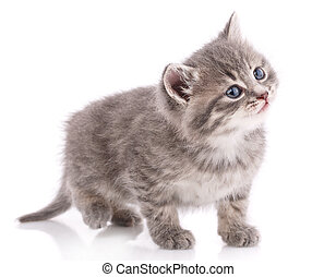 Cute striped kitten with blue eyes on a white