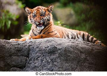 Cute sumatran tiger cub laying on a rock