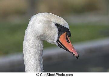 cute swan on beach at lake