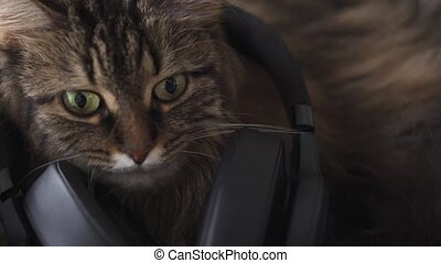 Lovely tabby domestic cat in headphones listens to music. Funny video