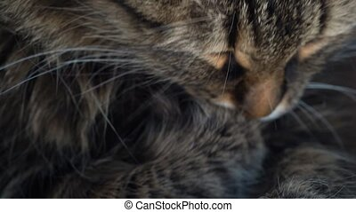 Cute tabby domestic cat washing up close up - Lovely tabby...