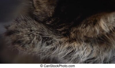 Lovely tabby domestic cat washing up close up