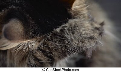 Lovely tabby domestic cat washing up close up. Slow motion