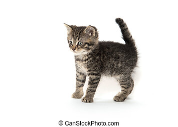 Cute tabby kitten on white - Cute baby tabby standing on...
