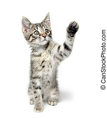 Cute tabby kitten playing on white - Cute tabby baby cat...