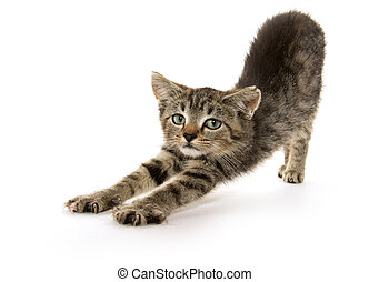 cute baby tabby kitten stretching on white background