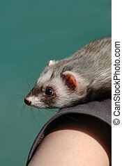 cute tame ferret on persons arm