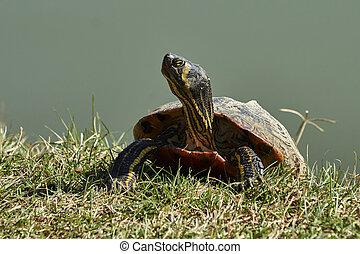 cute, tartarugas, descanso, em, sol, ligado, lagoa