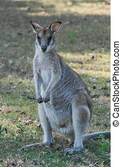 cute, tasmânia, austrália, closeup, wallaby