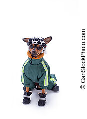Cute terrier dog in clothes, studio shot.