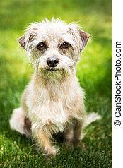 Cute Terrier Dog Sitting in Grass