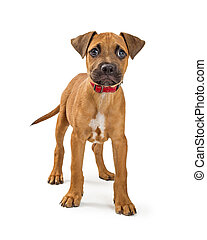 Cute Terrier Puppy Standing on White