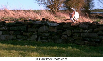 Cute terrier running with a stick in the countryside in slow...