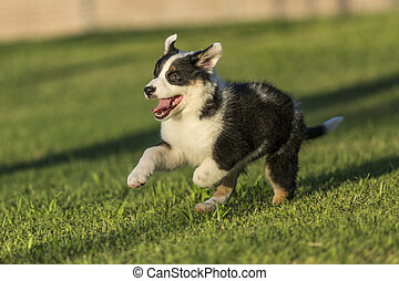 Cute Texas Heeler Puppy Running in the Park