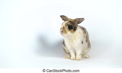 Cute three colored rabbit sniffing and looking around on white background at studio. Slow motion