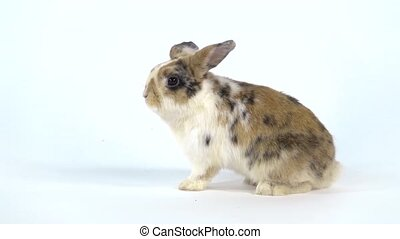 Cute three colored rabbit stands up on two legs and sniffing and on white background at studio. Slow motion