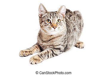 Cute Three Month Old Tabby Kitten - Adorable little three...
