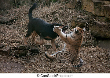 Cute tiger pup playing with dog