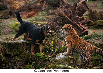 Cute tiger pup playing with dog - Cute tiger pup playing...