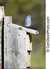 Cute tiny mountain bluebird on bird house.