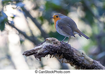 cute, træ, fugl, branch, robin