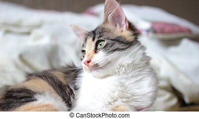 Cute tricolor kitten is lying in domestic environment and looking around with curiosity. Good videoclip for household or pet commercials, veterinarian promos or animal care videos.