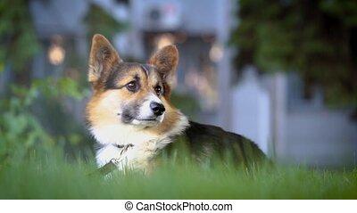 cute tricolor Welsh Corgi dog sitting in bright green grass.