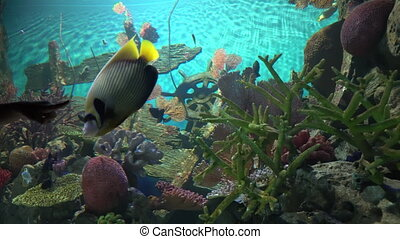 Cute tropical fishes floating near large rocks with colorful corals